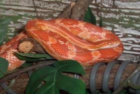 Foto 2 Schlangen - Bambusnattern, Kornnatter, Erdnatter