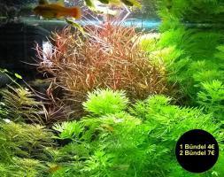 Schmalblättrige Ludwigie (arcuata), Wasserpflanzen, Versand