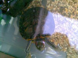 Schmuckzierschildkröten