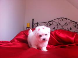 Foto 2 Schneeweisse Mini Malteser