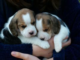 Schöne Beaglewelpen mit Papieren