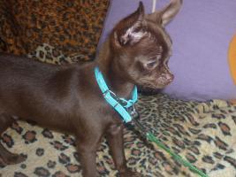 Schöne Chihuahua Welpe-Rüde in Schokolade mit Papiere