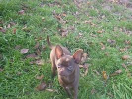 Foto 3 Schöne Chihuahua Welpe-Rüde in Schokolade mit Papiere