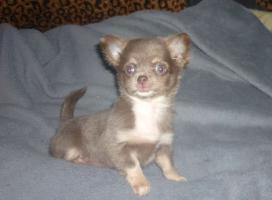 Foto 4 Schöne Chihuahua Welpe-Rüde in Schokolade mit Papiere
