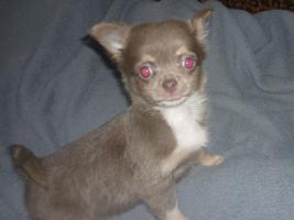 Foto 5 Schöne Chihuahua Welpe-Rüde in Schokolade mit Papiere