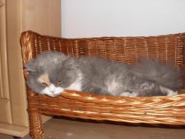 Foto 3 Schöne Halblanghaar-Katze