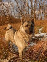 Foto 3 Schöne Welpen Norwegischer Elchhund mit Papiere