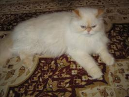 Foto 2 Schöne Zuchtkatze knapp 2 Jahre alt