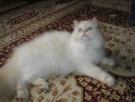 Foto 4 Schöne Zuchtkatze knapp 2 Jahre alt
