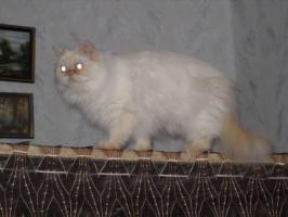 Foto 5 Schöne Zuchtkatze knapp 2 Jahre alt