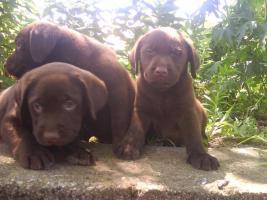 Foto 3 Schoko Labrador Welpen - schönste Eltern (s.Bilder)