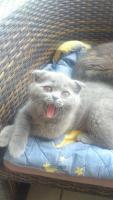 Foto 2 Schottisch Fold Kätzchen