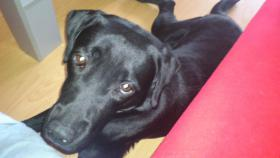 Schwarze Labrador Hündin