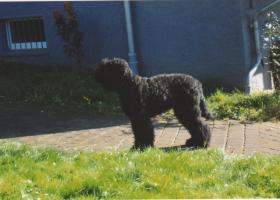 Schwarze Russische Terrier Hündin in gute Hände abzugeben