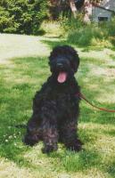Foto 2 Schwarze Russische Terrier Hündin in gute Hände abzugeben