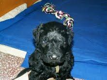 Foto 2 Schwarzer Russischer Terrier