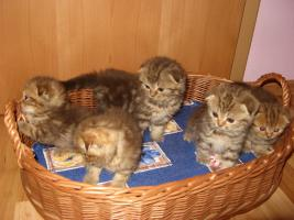 Foto 7 Scottish-Fold-Babys, Schoko gestromt, 14 Wo., mit STB