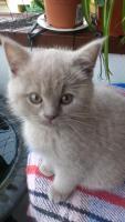 Foto 2 Scottish Fold Kitten