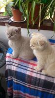 Foto 3 Scottish Fold Kitten