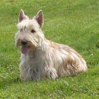 Foto 2 Scottish Terrier Welpe