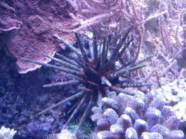 Seeigel für Meerwasseraquarium