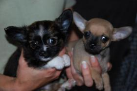 Sehr huepsche Chihuahua Welpen zu verkaufen.