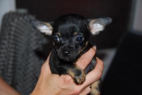 Foto 2 Sehr huepsche Chihuahua Welpen zu verkaufen.