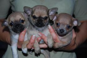 Foto 3 Sehr huepsche Chihuahua Welpen zu verkaufen.