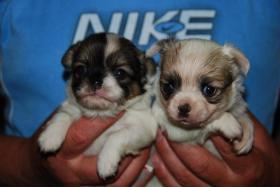 Foto 4 Sehr huepsche Chihuahua Welpen zu verkaufen.