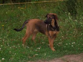 Foto 2 Sehr liebe Schäferhund - Junghündin