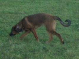 Foto 4 Sehr liebe Schäferhund - Junghündin