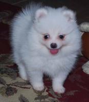 Foto 3 Sehr liebevoll weiß und braun Zwergspitz Pomeranian Welpen