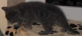 Foto 10 Seks Scottish Fold Baby`s zu VERKAUFEN.!!!!!!!!!!!!!