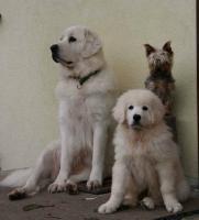 Foto 3 Seltene Welpen - Tatra Schäferhund