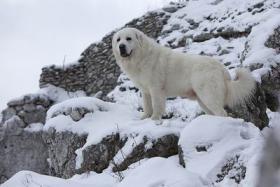 Foto 4 Seltene Welpen - Tatra Schäferhund