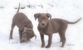 Foto 2 Seltenheit! Labradorwelpen in silber - reinrassig mit Papieren abzugeben.