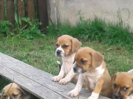 Foto 3 Sensationelle Bull-Beagle auchen neues Zuhause