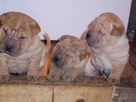 Foto 3 Shar Pei wunderbare Welpen zu verkaufen