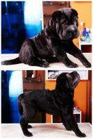 Foto 6 Shar pei Welpe -Khan- von höchster Qualität zu verkaufen