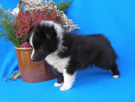 Foto 2 Sheltie (Shetland Sheepdog) Welpen mit Stammbaum