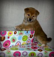 Foto 2 Shiba Inu Welpen von Champion Abstammung zum Verkauf