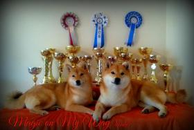Foto 3 Shiba Inu Welpen von Champion Abstammung zum Verkauf