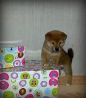 Foto 4 Shiba Inu Welpen von Champion Abstammung zum Verkauf