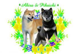 Foto 3 Shiba inu welpen