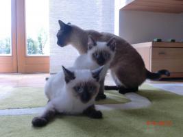 Foto 2 Siam Baby Katzen