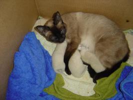 Foto 2 Siam Babys reinrassig zu verkaufen
