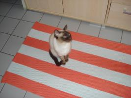 Siam Katzenpärchen