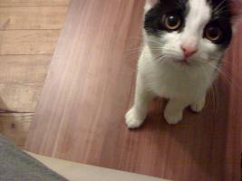 Foto 2 Siam-Mix Katzen 8 Monate alt