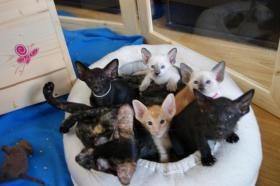 Siam und OKH Kätzchen suchen ein Zuhause!