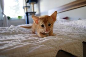 Foto 2 Siam und OKH Kätzchen suchen ein Zuhause!